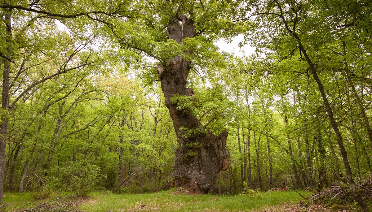 7 · The oak tree of Las Palomas